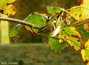 Fuglekongesanger (Foto: Atle Grimsby)