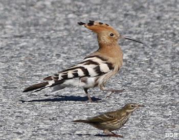 Hærfugl - foto: Bjørn Ove Høyland