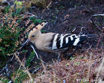 Hærfugl (Eivind Sande)